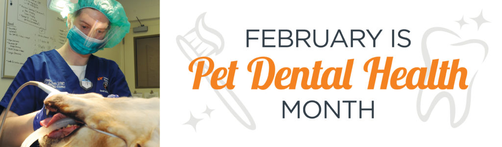 February is Pet Dental Health Month. Veterinary technician is cleaning a yellow dog's teeth.