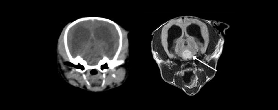 Computed tomographic and magnetic resonance images of the brain in the same dog