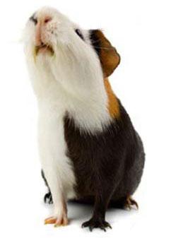 OLAC guinea pig
