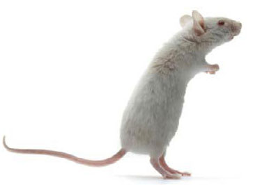 OLAC_mice