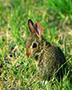 wild rabbit sitting in the grass