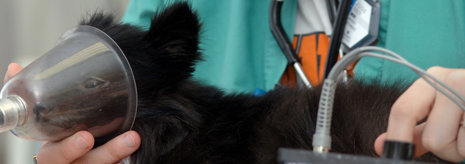 Preparing a dog surgery